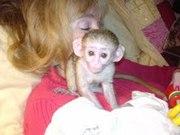 обезьяны капуцина для принятия.