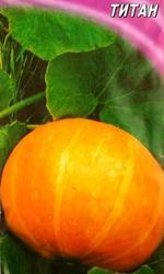 семена тыквы столовой