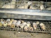 Тушки перепелов,  перепелиные яйца пищевые и инкубационные,  мясо перепе