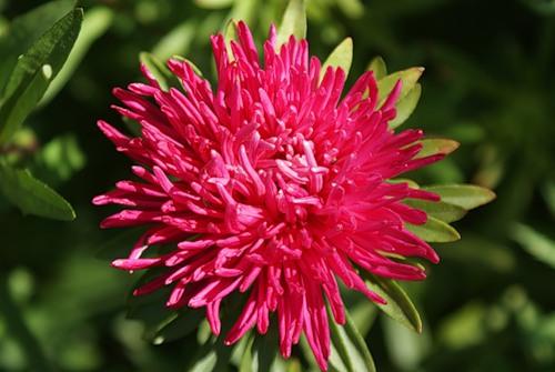 Соцветия полусферической формы, диаметром 12-15 см. Степень махровости цветка высокая.  Период от.