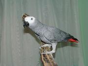Продам алохвостого попугая Жако