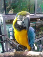 Попугай Сине-Желтый Ара (птенцы-выкормыши)