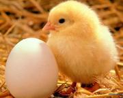 Оптовий продаж птиці: кури,  качки,  індики.