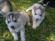 подарок  Сибирский хаски щенок