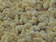 Оптова та роздрібна торгівля птицею: кури,  качки,  індики.