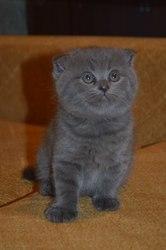Продам шотландских котят дешево