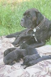 Продам чистокровных щенков кане корсо