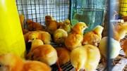 Оптова та роздрібна торгівля птицею: курчата,  качки,  індики.