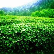 Продам чай,  зеленый чай и т.д.