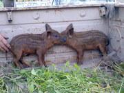 Свиньи венгерской породы пуховая мангалица